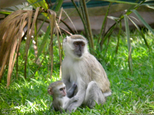 vervet monkey, Waterfront, Livingstone area, Zambia, Africa 2011,travel, photography,favorites