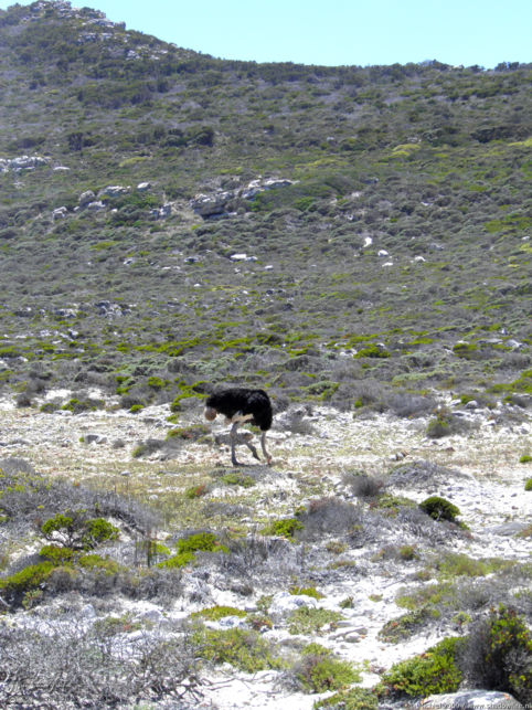 ostrich, Cape of Good Hope, Table Mountain National Park, Cape Peninsula, South Africa, Africa 2011,travel, photography